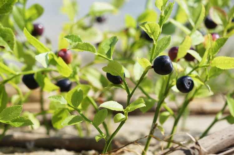 Blueberries' lagoon -