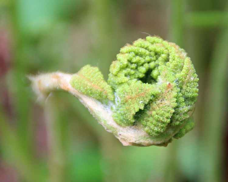 Fiddlehead reaching out -