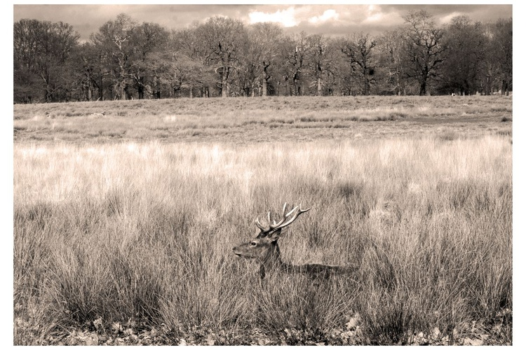"""DEER (Limited edition  1/150) 12""""X8"""" (white boarder) - Image 0"""