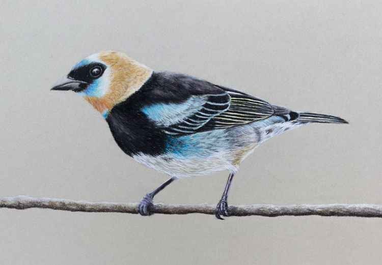 "Original pastel drawing ""Golden-hooded tanager"" -"