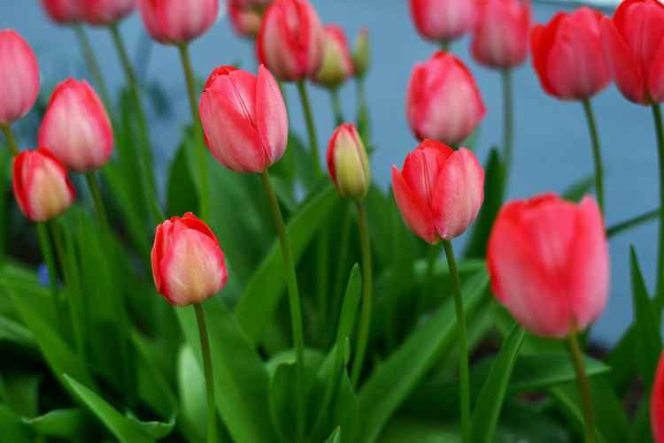 Spring tulips garden