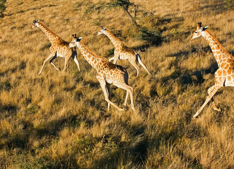 Running Giraffe - Image 0