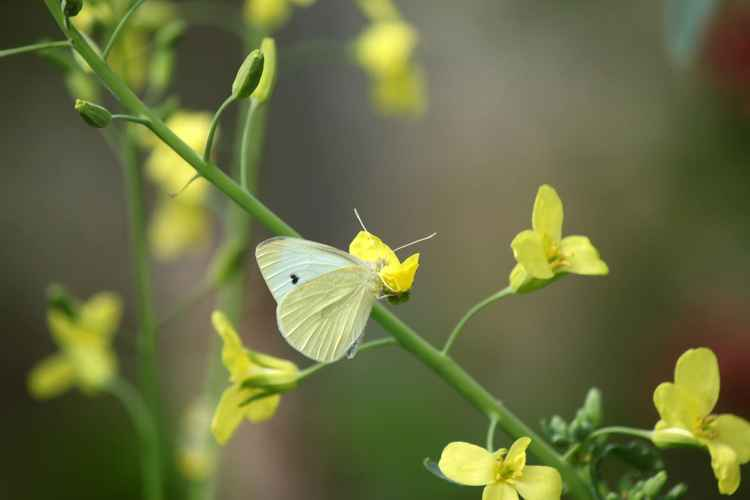 White butterfly -