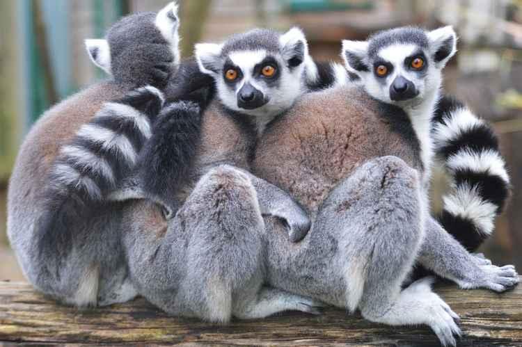 Ring-Tailed Lemurs -
