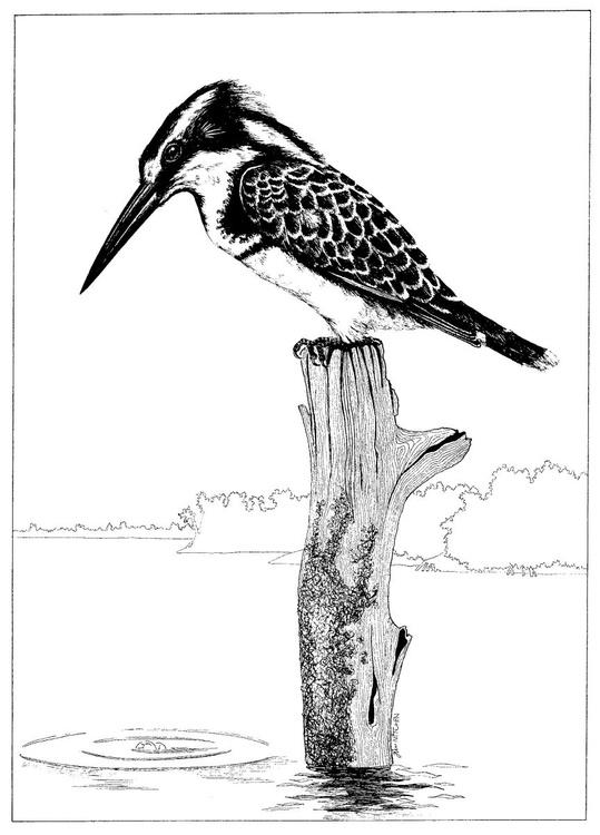 Pied Kingfisher - Image 0