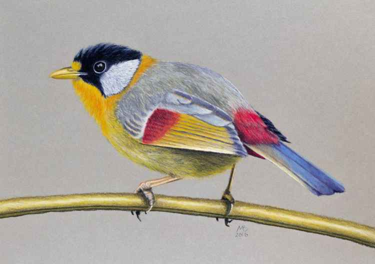 "Original pastel drawing ""Silver-Eared Mesia"" -"