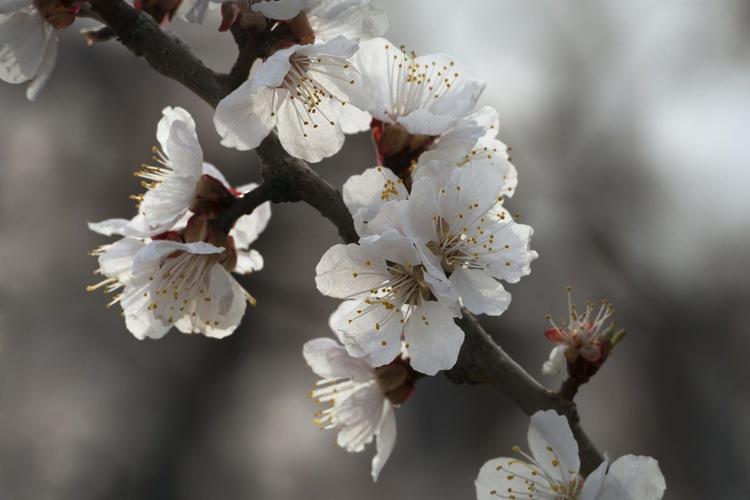 Apricot Blossom - Image 0