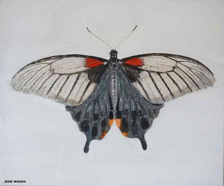 Papilio memnon f anceus - female butterfly