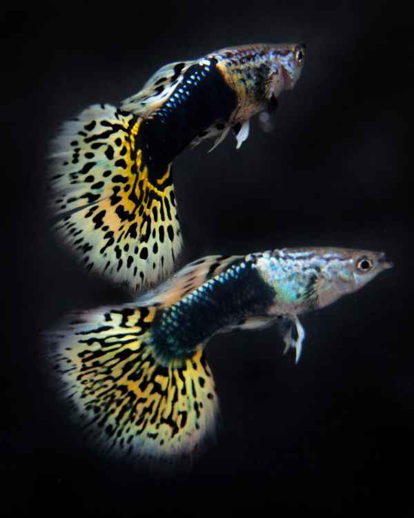 2 Guppies -