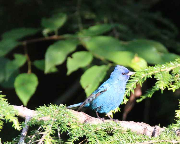Morning Light on Indigo Bunting