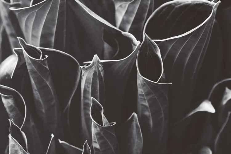 Black Hosta II