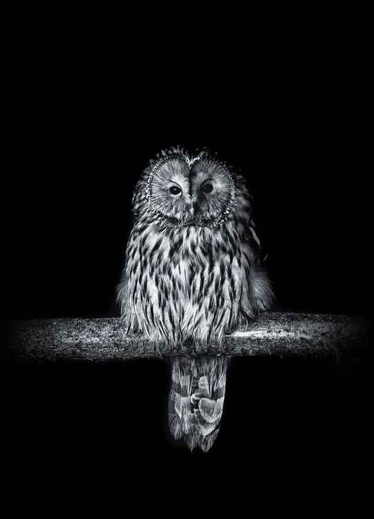Ural Owl -