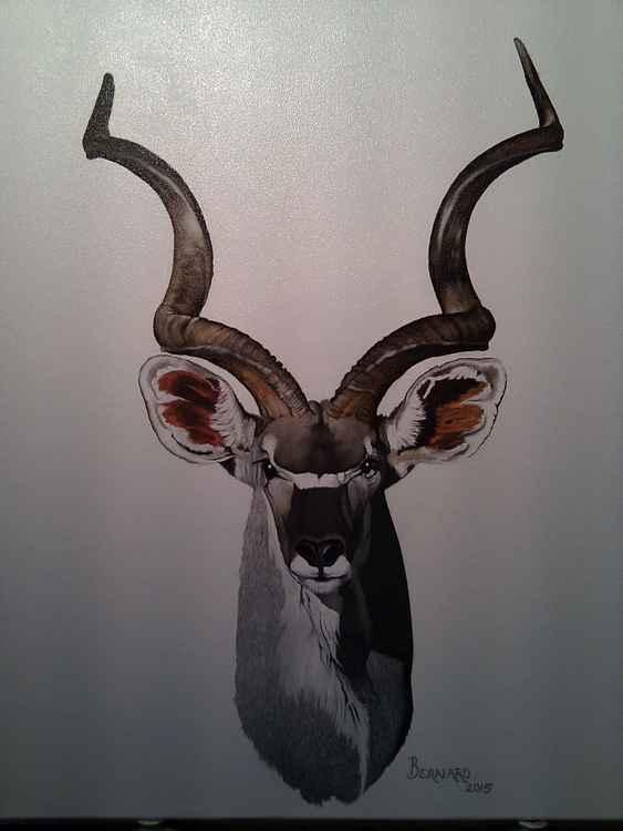 African Kudu ( Buck )