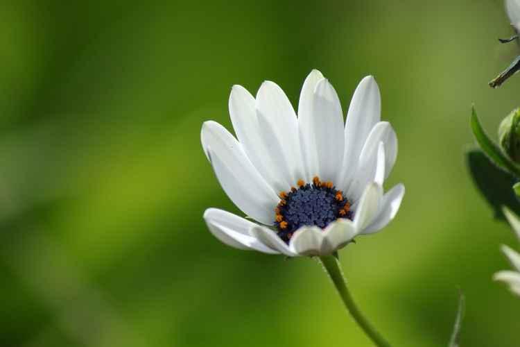 Bud daisies -