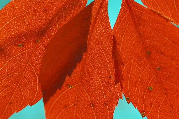 Red Leaves, 2015 - Image 0