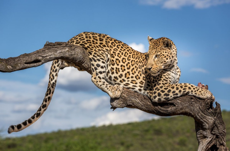 Okonjima Leopard - Image 0