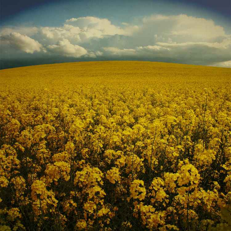 field of yellow -