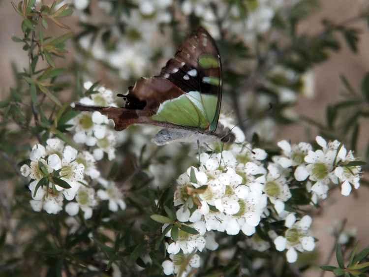 Macleay's Swallowtail No. 1