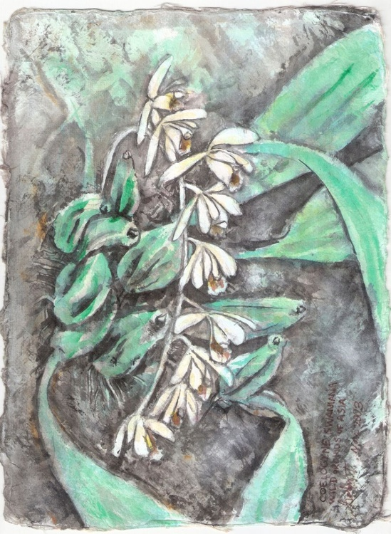Coelogyne swaniana, Wild Orchids of Asia - Image 0