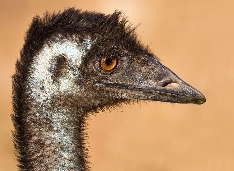 Close encounters of the Emu kind - Image 0