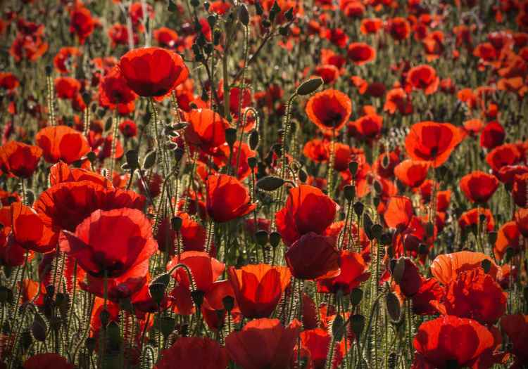 Where the Red Poppies Dance