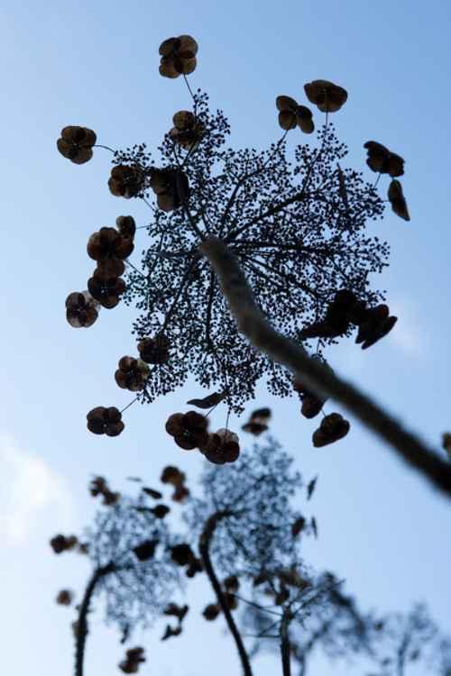 Hydrangea and sky