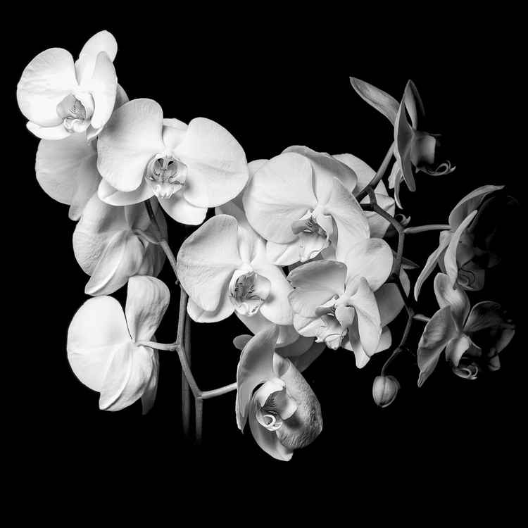 White Orchid -