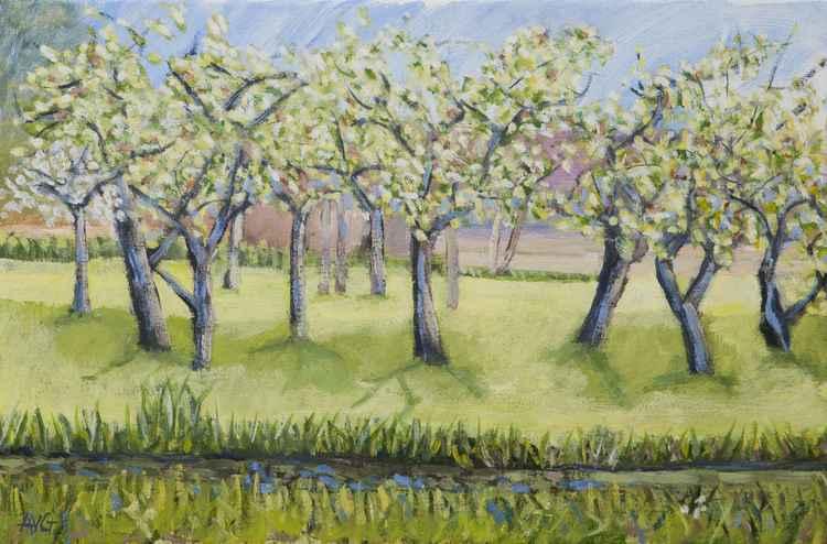 Apple trees blossom -
