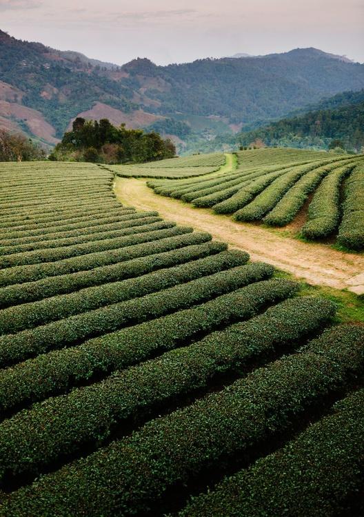 Mae Salong Tea Plantations, Thailand. (84x119cm) - Image 0