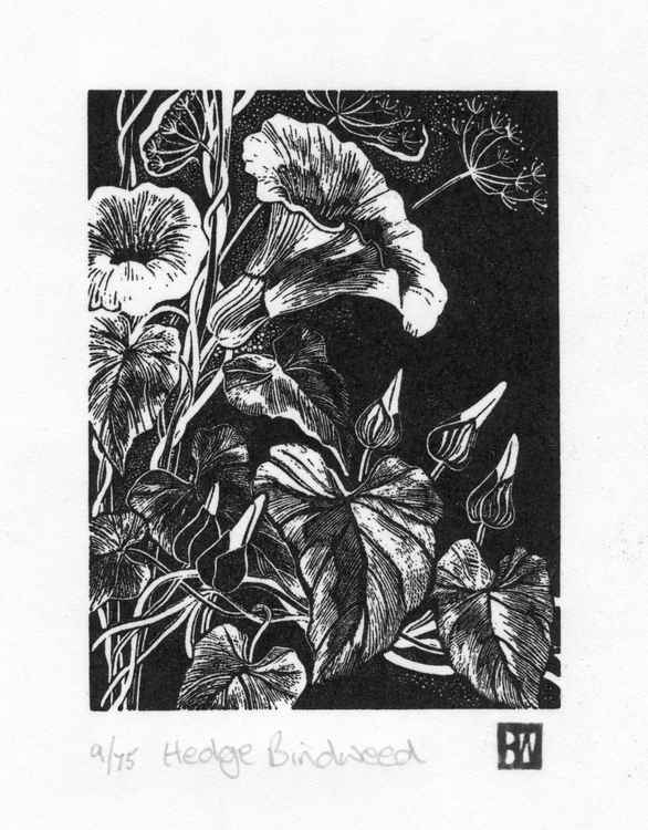 Hedge Bindweed -