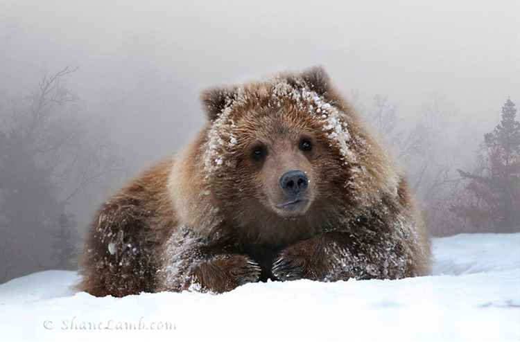 Grizzly Cub Portrait -