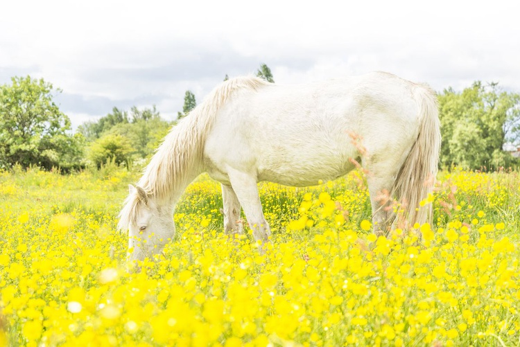 AMONGST THE BUTTERCUPS - Image 0