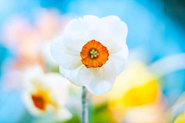 Narcissus, 2016