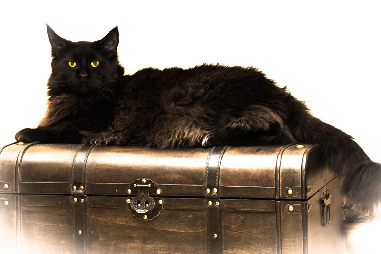 Maine Coon. - Image 0