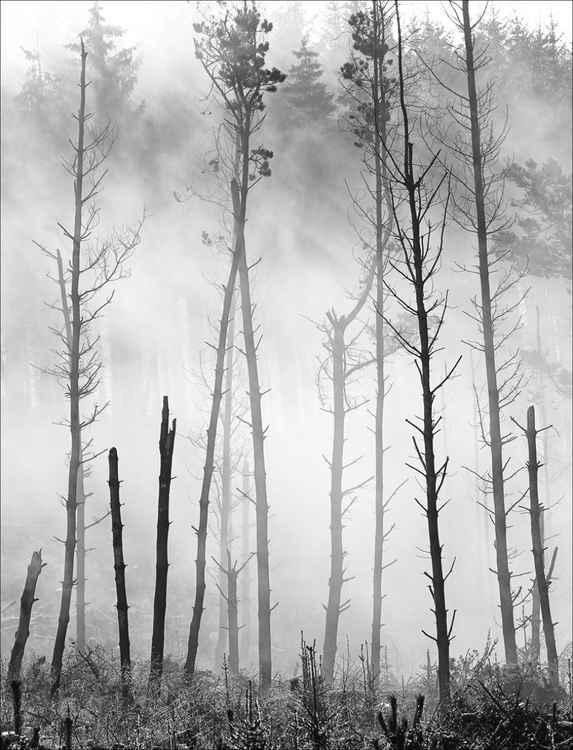 TreeScape in Morning Mist