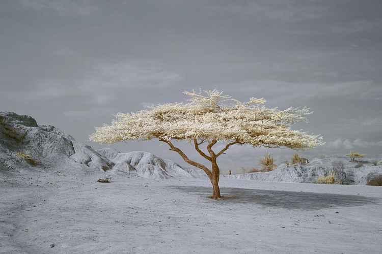 Tatacoa Tree -
