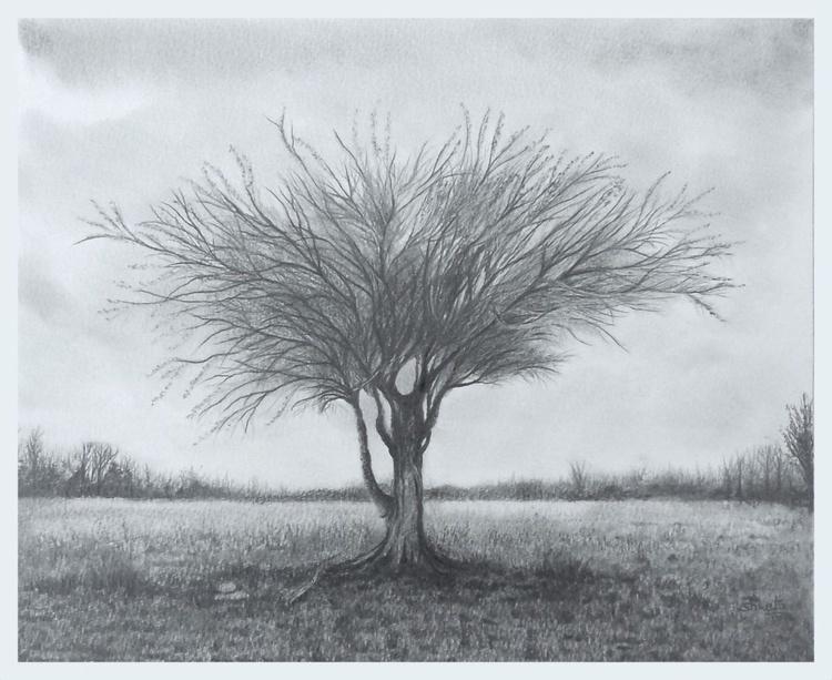 Mulga Desert Tree - Image 0