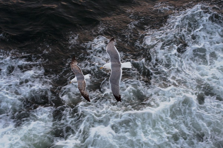 Gulls in flight - Image 0