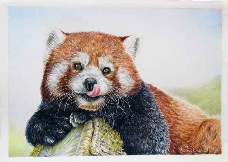 Red panda colored pencils drawing