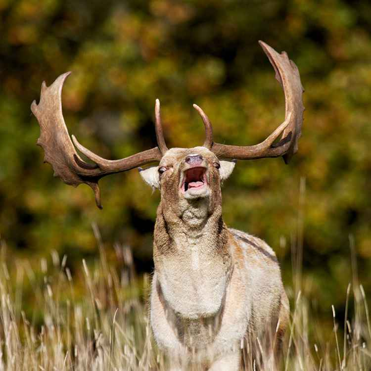 Fallow Deer Rutting -