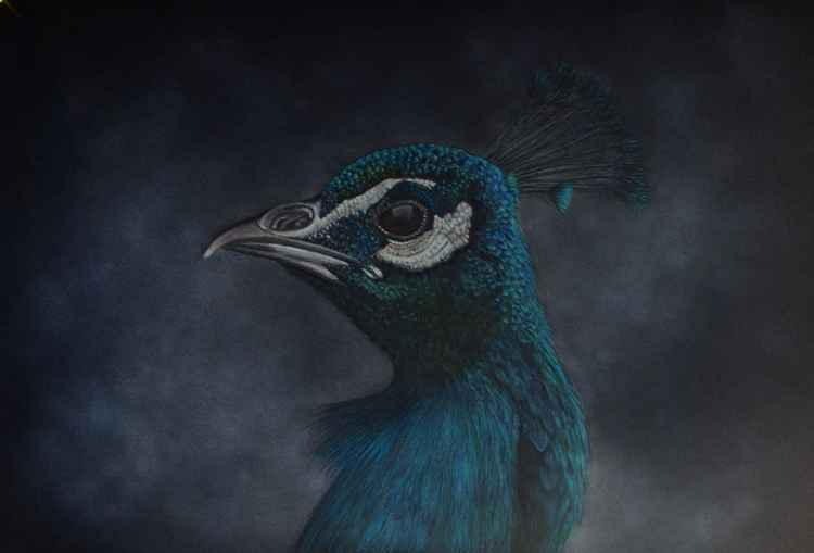 Peacock Portrait -
