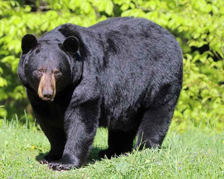 A really Big Bear!