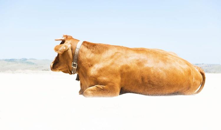 SUNBATHING COW - Image 0