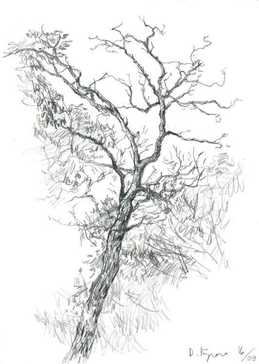 Acacia Tree -