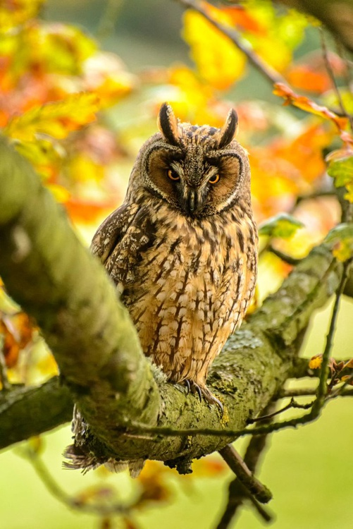 Long Eared Owl  - Limited Edition Print - Image 0