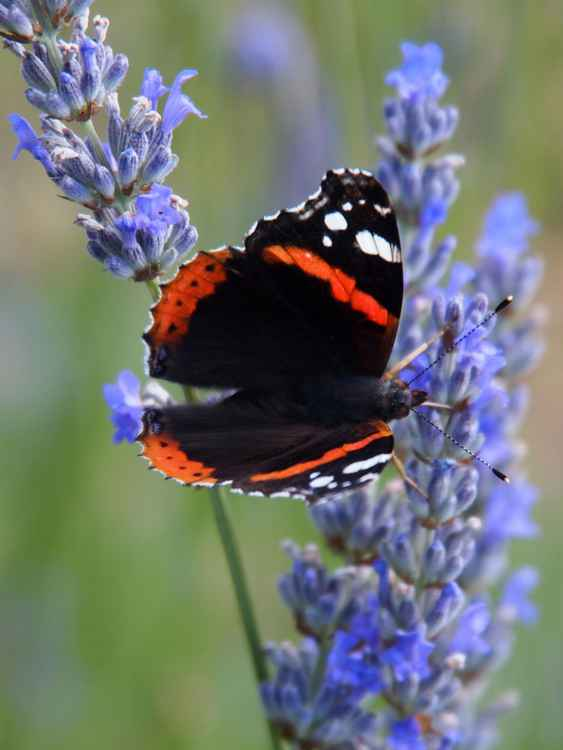 Red Admiral No. 1 -