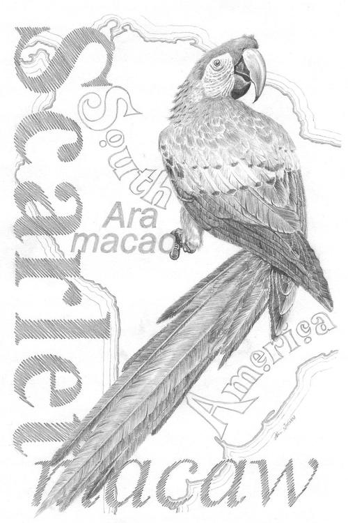Scarlet Macaw - Image 0