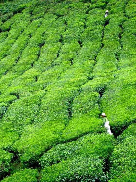 MALAYSIAN TEA PLANTATION - CAMERON HIGHLANDS
