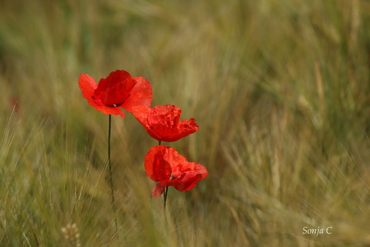 Poppies - Image 0