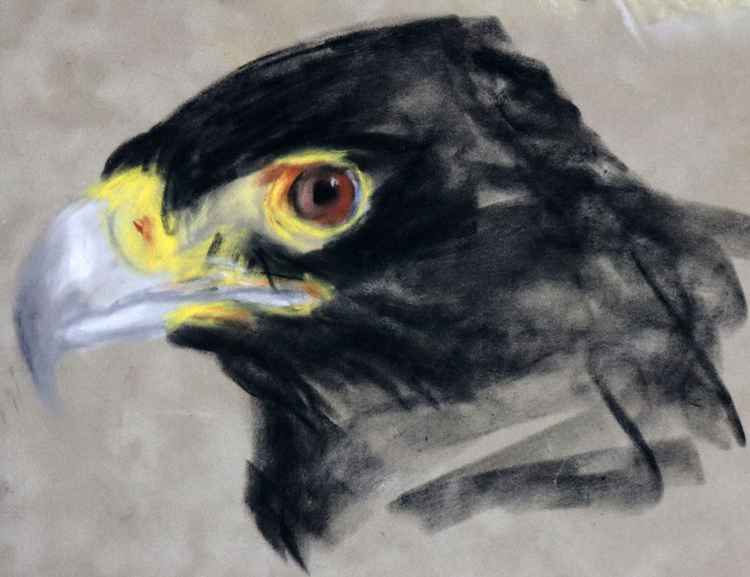 Verreaux's eagle (Black Eagle) -